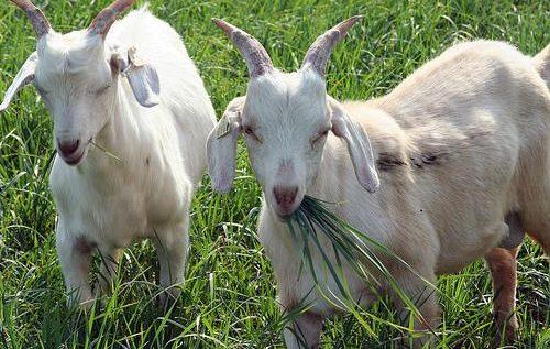فوائد حليب الماعز.. هل تفوق حليب الأم وحليب البقر؟