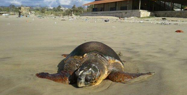 انقاذ سلحفاة بحرية على شاطىء الرميلة