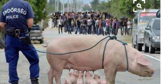 هنغاريا.. ورواية الخنزيرة الأم المفبركة!