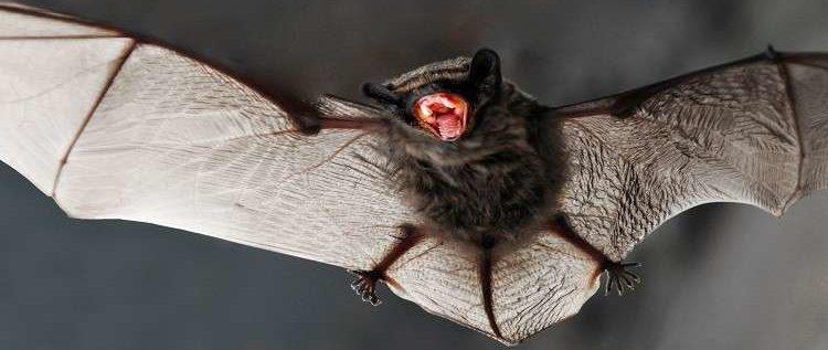"""هل تحمل الخفافيش مفتاح """"الحياة الأبدية""""؟"""