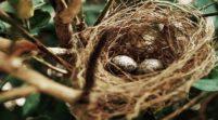 ما الذي يعنيه تغيّر ألوان قشور بيض الطيور؟