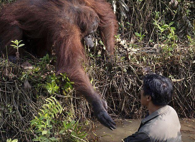 """رد فعل غير متوقع لقردة شاهدت رجلا """"يغرق"""" (صور)"""